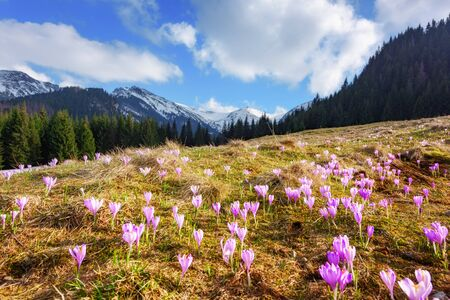 Crocus flowers on spring High Tatras mountains in Kalatowki meadow, Zakopane, Poland. Landscape photography