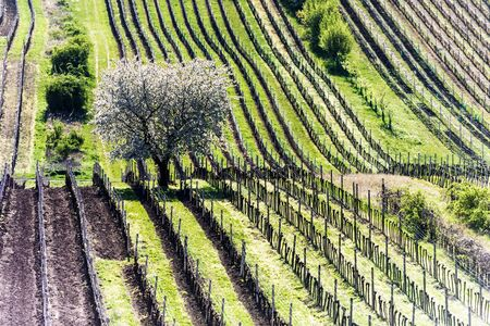 Amazing Spring Landscape With White Blossoming Cherry Tree Between Rows Of Vineyards In South Moravia, Czech Republic 写真素材