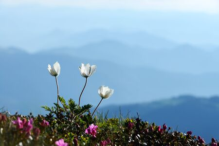 Amazing landscape with magic white flowers on summer mountains. Nature background