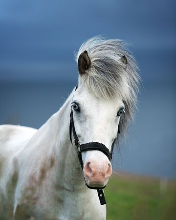 Portrait of white icelandic horse with blue eyes closeup