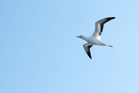 Flying gannet on blue sky. Wild animal photography