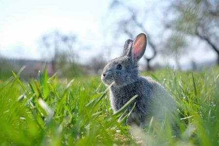 Small grey rabbit in green grass closeup. Can be used like Easter background. Animal photography Фото со стока