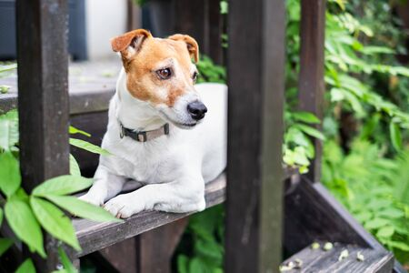 White Jack russel terrier on wooden porch closeup. Dog photography