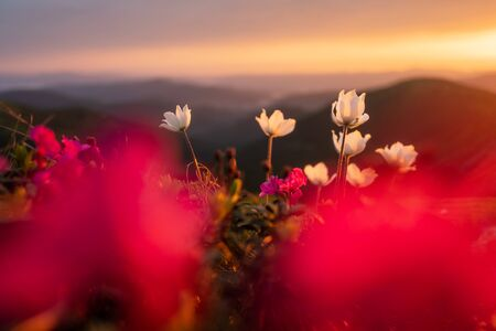 Amazing landscape with magic pink rhododendrone and white flowers on summer mountains. Incredible sunset light. Nature background. Landscape photography
