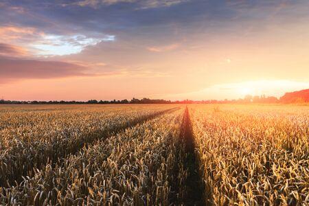 Ripe golden wheat field against the orange sunset sky background. Landscape photography