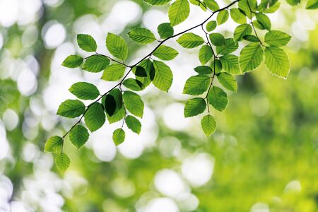 Closeup nature view of green beech leaf on spring twigs on blurred background in forest. Copyspace make using as natural green plants and ecology backdrop
