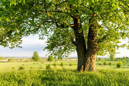 Old linden tree on summer meadow. Large tree crown with lush green foliage and thick trunk glowing by sunset light. Landscape photography 스톡 콘텐츠 - 148175103