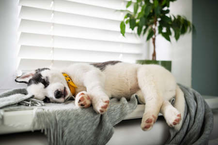 A small white dog puppy breed siberian husky with beautiful blue eyes sleep on grey carpet. Dogs and pet photography 写真素材