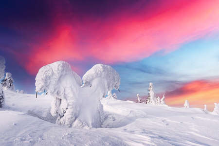 Fantastic winter landscape with snowy trees and sunrise pink sky. Lapland, Finland, Europe. Christmas holiday concept