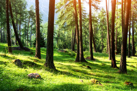 Beautiful summer evergreen forest with pine trees and lush grass. Nature background, landscape photography