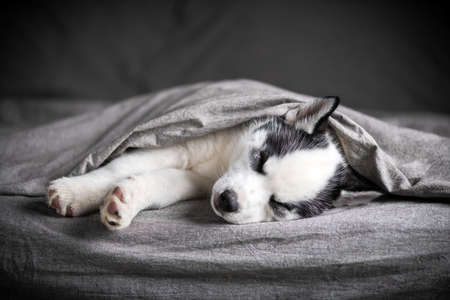 A small white dog puppy breed siberian husky with beautiful blue eyes lays on grey carpet. Dogs and pet photography Standard-Bild