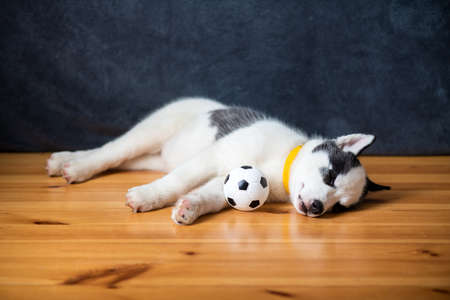 A small white dog puppy breed siberian husky with beautiful blue eyes lays on wooden floor with ball toy. Dogs and pets photography