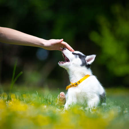 Hand with white dog puppy breed siberian husky on spring backyard. Dogs and pets photography