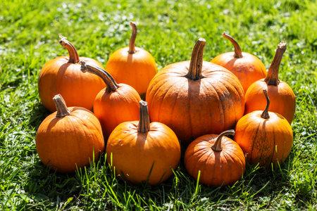 Orange pumpkins in green garden grass. Halloween and autumn background