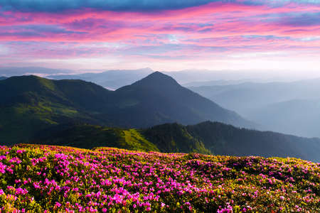 Rhododendron flowers covered mountains meadow in summer time. Purple sunrise light glowing on a foreground. Landscape photography Standard-Bild