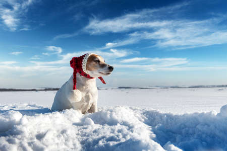 White jack russel terrier puppy in stylish red santa hat on snowy field at sunrise. Christmass and New Year greeting card Standard-Bild