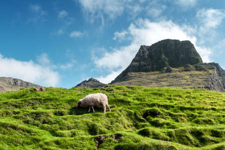 Morning view on the summer Faroe islands with sheep on a foreground and mountains on background. Vagar Island, Denmark. Landscape photography