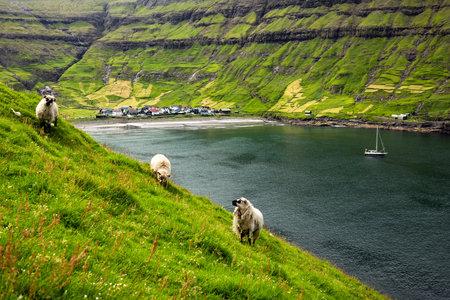 Three sheeps near Tjornuvik village beach on Streymoy island, Faroe Islands, Denmark. Landscape photography