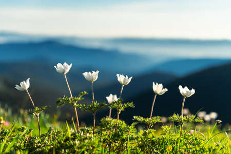 Amazing landscape with magic white flowers and blue sky on summer mountains. Nature background