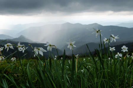 Mountain meadow covered with white narcissus flowers. Carpathian mountains, Europe. Landscape photography