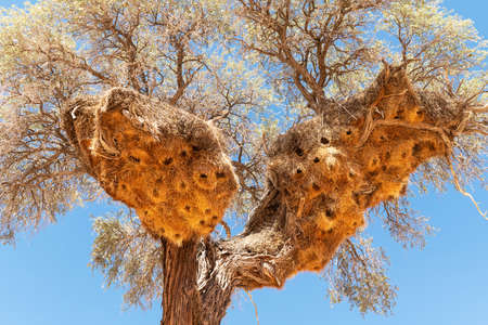 Sociable Weavers nest on acacia tree