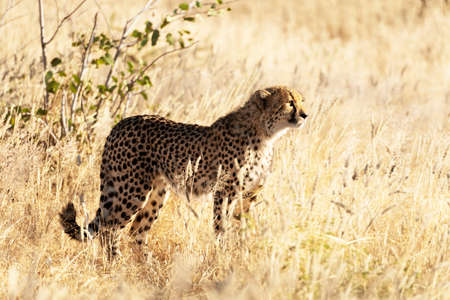 Cheetah standing on dry yellow grass of the African savannah