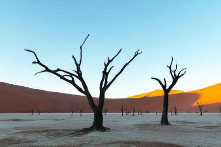 Dead Camelthorn Trees at sunrise Standard-Bild