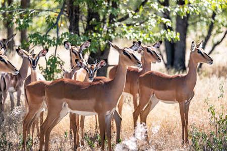 A herd of black-faced impala Standard-Bild