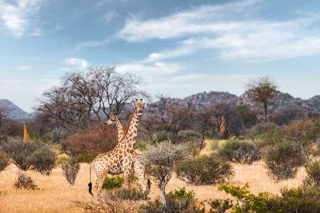 Couple of giraffe walking in african bush