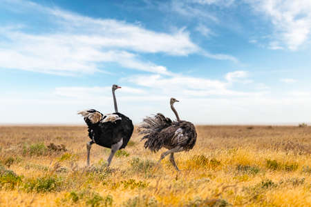 Ostrich couple running on dry yellow grass of the African savannah