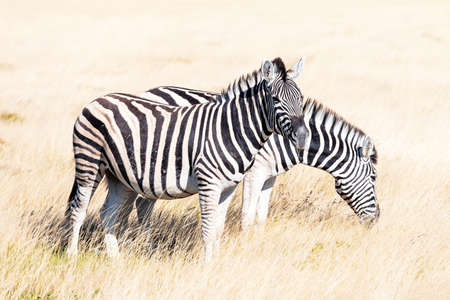 Couple of african plains zebra on the dry brown savannah