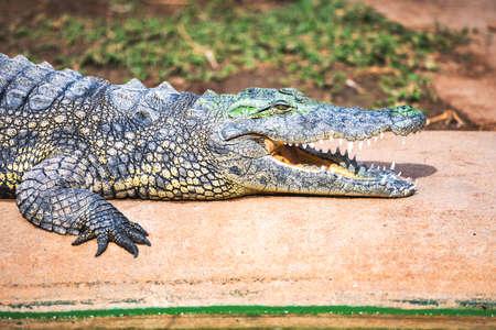 Big african alligator crocodile with open mouth Standard-Bild