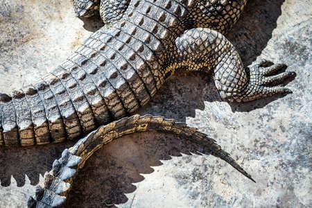 Closeup of crocodile skin texture
