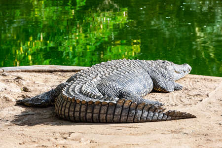 Big african alligator crocodile near water Standard-Bild