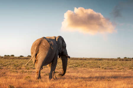 Closeup view of big African Elephant