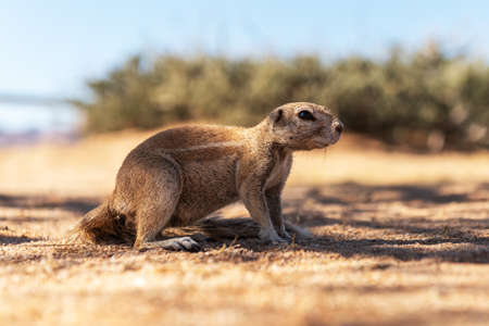 African ground squirrel in Namibia