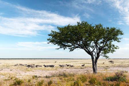African plains zebra herd on the dry brown savannah