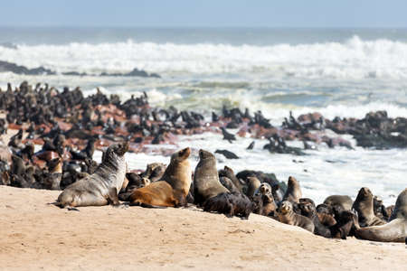 Fur seal enjoy the heat of the sun