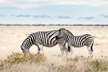 African plains zebra family on the dry brown savannah grasslands