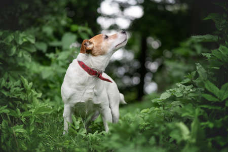 Jack russel terrier dog in green spring forest 版權商用圖片