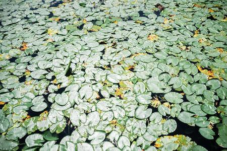 Lotus or Water lily flower leaves 版權商用圖片