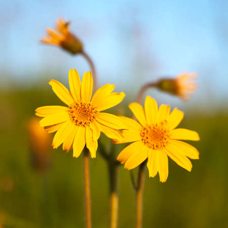 Arnica flower close up in summer mountains meadow
