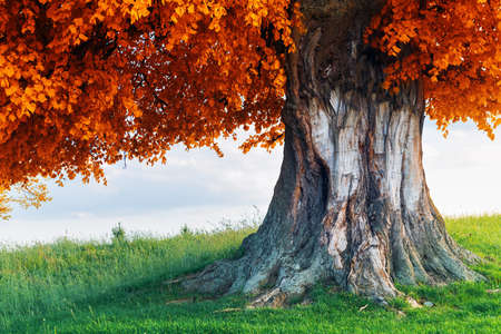 Old linden tree on autumn meadow