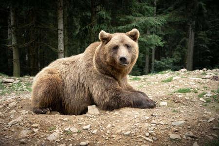 Brown wild bear portrait in green summer forest