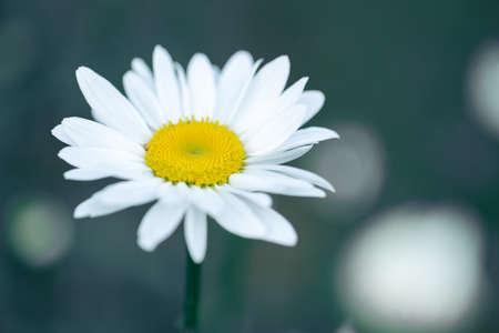 Wild camomile blossoming - macro shot of a flower 版權商用圖片