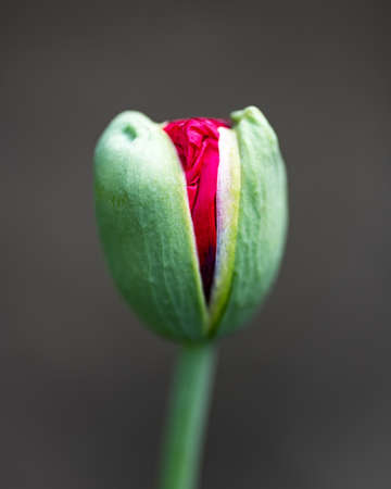 Young green poppy bud with red flower inside 版權商用圖片