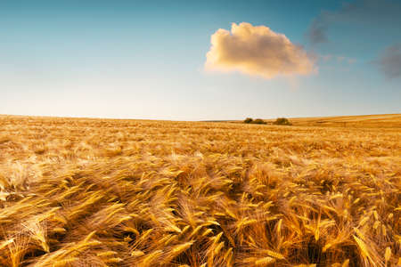 Ripe golden wheat field against the blue sky background