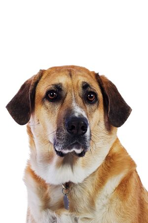 isolated lab collie mix dog on white