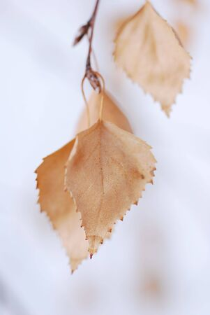 Autumn leaf - zen Delicate lighted brown  photo