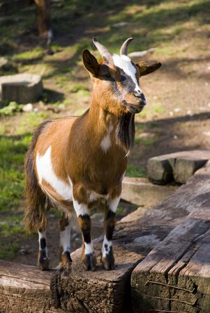 Portrait of Brown goat in the farm Stock Photo